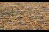 Lariksnaalden - Larch needles (naturum) Tags: summer netherlands june juni geotagged nederland zomer needles larch asserbos 2012 assen larix lariks naalden geo:lat=5298346080 geo:lon=655124724