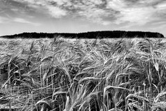 The Wind Shakes The Barley (Rainer ) Tags: light bw nature barley licht cornfield estate sommer bn sw summertime t kornfeld gerste haarstrang bausenhagen nikkor1685 rainer