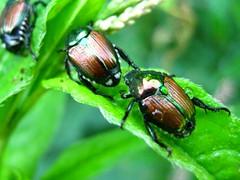 Beetles on Parade (Smile Moon) Tags: morning orange green bug japanese early droplets leaf weed shiny beetle dew beetles japonica shining scarab popillia scarabaeidae rutelinae chafers anomalini