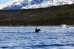 Killer Whale! (Oilfighter) Tags: ocean alaska boat pod killerwhale breaching whalewatching whalewatchingtour weatherpermitting