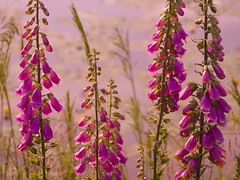 Foxgloves (ColinJC) Tags: flowers flower nature scotland clyde canal blossom scottish forth fox bloom foxglove bishopbriggs cadder