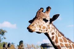 Zoo Buenos Aires (Germn De Stfano) Tags: argentina zoo buenosaires minoltax700 palermo 2012 proimage100 buenosaireszoo ciudadautonomadebuenosaires jardnzoolgico minoltamdrokkor75200145