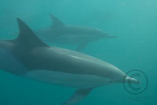 Common Dolphins (Delphinus delphis)