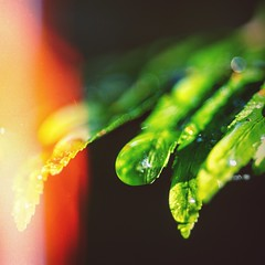 200 (Andrew Speight // andrewspeight.co) Tags: light summer two sunlight green water field leaves proud forest project three leaf drops nikon focus day afternoon dof photos bokeh h2o foliage hundred 200 droplet leak six depth sixty 366 asphoto d7000 speightphoto