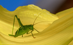 riding the wave... (markhortonphotography) Tags: macro yellow female canon insect wave surrey 100mm 7d daylily f28 hemerocalis deepcut surreyheath ovipositor leptophyespunctatissima speckledbushcricket leptophyespuctatissima eos7d