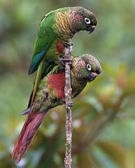 NE Brazil: Maroon-bellied Parakeet (spiderhunters) Tags: brazil bahia nationalgeographic pyrrhurafrontalis maroonbelliedparakeet serrabonita atlanticrainfores