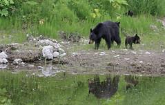 Black Bear family (uropsalis) Tags: mammal cub ak blackbear denalinp