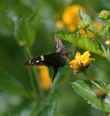 Long-tailed Skipper (Urbanus proteus) (kecheeks803) Tags: butterfly insect southcarolina skipper lepidoptera insecta hesperiidae longtailedskipper urbanusproteus pyrginae urbanus aikencounty silverbluffauduboncenter