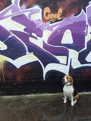 cooldenzel (Cool_Deos) Tags: dog chien beagle strasbourg denzel jpp deos lasmala