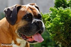 (Photograph'Art) Tags: canon boxer chiens eos7d