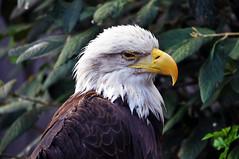 Bald Eagle (The Lovelace Photography) Tags: thewonderfulworldofbirds me2youphotographylevel1