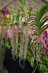 2016-07-23 08772 Orchid Show, SF County Fair Bldg (Dennis Brumm) Tags: sanfrancisco california july 2016 orchids exposition flowers plants bromeliads