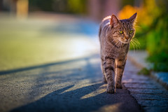 Straying around (Bokehschtig (back, but catching up slowly)) Tags: cat kitten katze dof depthoffield bokeh street animal tier strase ktzchen sony a7 sonya7 walimexpro2135 135mm f22 samyang2135 samyang walimex