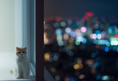 Waiting for Dinner is Hard (torode) Tags: cute cat apartment bokeh hannah highrise lonely scottishfold longing datzeiss 85mmftw