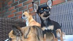 WP_20160726_20_43_57_Rich (hile) Tags: chihuahuadogdracula chihuahuadoghannibal chihuahuadoghonda chihuahuadog dog koira honda hannibal dracula hyvink hyvinkaa finland suomi