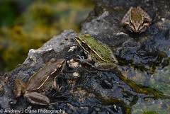 Leopard Frogs (Andrew J Crane Photography) Tags: woodward oklahoma boiling springs state park leopard frogs frog wildlife animal travel andrew crane united states