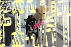 Fight! (Rem Pang) Tags: dog puppy 動物 animals 狗 香港 hk pang rem 彭彭 pangpang pp