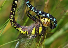 dragonflies mating common Hawkers, Aeshna juncea. (1) (Simon Dell Photography) Tags: dragonflies flys dragon dragonflys mating locked together simon dell photography sheffield longshaw estate 2016 views sights nature landscapes old new fox house peak district national park macro close up awsome detail summer