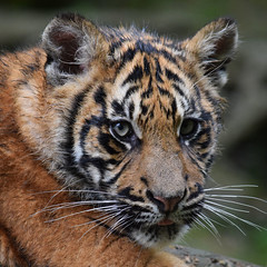 Tiger cub @ Zoo de Beauval 10-05-2016 (Maxime de Boer) Tags: tangse masat sumatran tiger sumatraanse tijger big cats katachtigen zoo parc de beauval saintaignan france animals dieren dierentuin