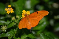 Likes Lantana (ACEZandEIGHTZ) Tags: nikon d3200 butterfly insect flying dryas iulia orange julia nature macro closeup depthoffield
