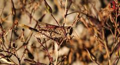 04818-20 de agosto de 2016 (Tres-R) Tags: spain espaa galicia corua rasaltas saltamontes grasshopper insect insectos animals animales airelibre tresr rodolforamallo sonyrx10
