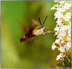 Hummingbird hawk-moth (RKop) Tags: a77mk2 70400gssmsony cincinnati ohio raphaelkopanphotography
