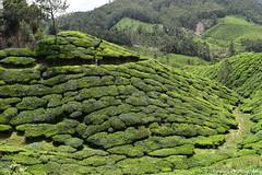 Devikulam Tea Estates, Munnar (Dinesh flicks) Tags: munnar munnarphotos munnarscenaries munnartouristspot devikulam topstation amaravathidam chinnarwildlifesanctuary thekkady dinesh photography kerala