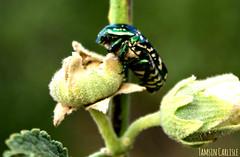 European Rose Chafer on Hollyhock (tinlight7) Tags: beetle chafer green metallic hollyhock bishkek kyrgyzstan taxonomy:kingdom=animalia animalia taxonomy:phylum=arthropoda arthropoda taxonomy:subphylum=hexapoda hexapoda taxonomy:class=insecta insecta taxonomy:subclass=pterygota pterygota taxonomy:order=coleoptera coleoptera taxonomy:suborder=polyphaga polyphaga taxonomy:superfamily=scarabaeoidea scarabaeoidea taxonomy:family=scarabaeidae scarabaeidae taxonomy:subfamily=cetoniinae cetoniinae taxonomy:tribe=cetoniini cetoniini taxonomy:genus=cetonia cetonia taxonomy:species=aurata taxonomy:binomial=cetoniaaurata moscondoro cetoniadorata cétoinedorée metallischerrosenkäfer europeanrosechafer cetoniaaurata бронзовказолотистая taxonomy:common=moscondoro taxonomy:common=cetoniadorata taxonomy:common=cétoinedorée taxonomy:common=metallischerrosenkäfer taxonomy:common=europeanrosechafer taxonomy:common=бронзовказолотистая taxonomy:kingdom=plantae plantae taxonomy:superphylum=tracheophyta tracheophyta taxonomy:phylum=magnoliophyta magnoliophyta taxonomy:class=magnoliopsida magnoliopsida taxonomy:order=malvales malvales taxonomy:family=malvaceae malvaceae taxonomy:genus=alcea alcea hollyhocks taxonomy:common=hollyhocks taxonomy:common=hollyhock inaturalist:observation=3874864