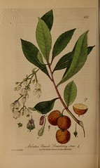 n391_w1150 (BioDivLibrary) Tags: floras flowers greatbritain medicinalplants plants newyorkbotanicalgardenluesthertmertzlibrary bhl:page=48840998 dc:identifier=httpbiodiversitylibraryorgpage48840998 arbutusunedo strawberrytree