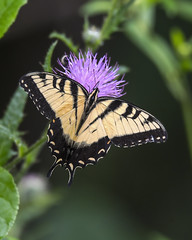 Eastern Tiger Swallowtail Butterfly on Bull Thistle flower (wplynn) Tags: eastern tiger swallowtail butterfly bull thistle cirsium vulgare