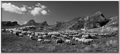 la rue vers les paturages aprs la traite matinale (Jeanne Valois 64) Tags: pyrnesatlantiques cirquedanou barn transhumance paturage brebis troupeau cabane berger aquitaine estives