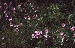 Musk mallow. Tidenham Chase 1992 (Mary Gillham Archive Project) Tags: 1992 england malvamoschata muskmallow planttree st551992 tidenhamchase 143