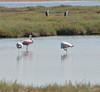 Greater flamingo (alex hadj) Tags: greater flamingo phoenicopterus roseus greece vistonida lake sigma 150600c nikon d90