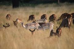 Deer in Setting Sun 1, Richmond Park (rq uk) Tags: rquk nikon d750 london richmondpark deer reddeer tamronspaf150600mmf563divcusd setting sun nikond750