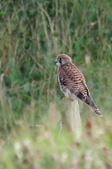 Kestrel Aug22 (Tyrone Williams) Tags: kenfig kenfignaturereserve kenfignnr nature wildlife floraandfauna august countryfile canon cxanonsx60hs canonsx60hs flora fauna plants sx60hs