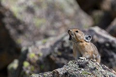 The Sentinel (craig goettsch) Tags: americanpika mammal colorado rocks talus highaltitude mountain haypile animal wildlife nature nikon d500 600mm