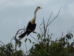 Anhinga anhinga  (Luis G. Restrepo) Tags: p2090667 ave bird colombia casanare patoaguja anhinga anhingaanhinga anhingidae southamerica