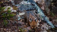 DSC_0076 (Adrian De Lisle) Tags: lakemoraine banffnationalpark banff pika wildlife