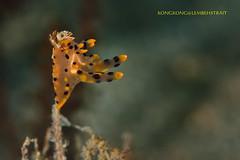 Pikachu (kayak_no1) Tags: nikon d800e nauticamhousing 105mmvr diopter ysd1 subsee10 underwater underwaterphotography macro supermacro diving scubadiving uw lembehstrait indonesia pikachu nudibranch