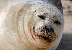 Common Seal at Blakeney Point (BitRogue) Tags: nikon d800 sigma 150600mm sport capturenx2 blakeneypoint templesealtrips norfolk seal commonseal