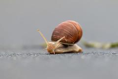 Burgundy snail (Helix pomatia) (digoarpi1) Tags: animal brown burgundy close closeup crawling edible green helix macro nature outdoors pomatia rass roman shell slimy slow slug snail up wet wildlife