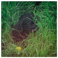 04.09.16 (Kirby_Wilson) Tags: dog spanishwaterdog grass omnivore