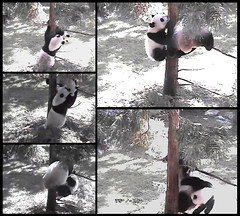 2016_09-06l1 (gkoo19681) Tags: beibei meixiang playtime treetime sohappy confused climbing dangling stillgotit youngatheart silliness ccncby nationalzoo