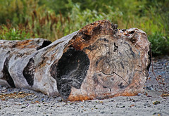 Charred Log (sea turtle) Tags: seattle goldengardens park goldengardenspark beach goldengardensbeach northseattle ballard log burn burned char charred tree