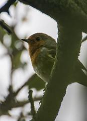 Robin (jan_baranovski) Tags: robin wildlife savenature givenaturehome rspb sony a6000 bird