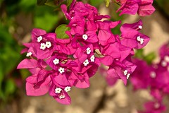 Bougainvillea (Nige H (Thanks for 6.5m views)) Tags: nature flowers pink bougainvillea tenerife canaryislands flora costaadeje