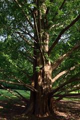 Dawn Redwood (Eddie C3) Tags: newyorkcity nycparks wavehill botanicalgardens trees dawnredwood metasequoiaglyptostroboides