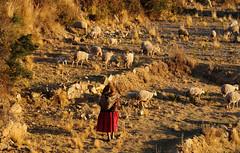 Local lady leading the sheep flock home in Challapampa, Isla del Sol, Lake Titicaca / Bolivia (anji) Tags: bolivia southamerica americasur latinamerica titicaca lagotiticaca laketiticaca