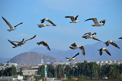 Let Them Fly - Coquimbo - Chile (Carlos Garca Soto) Tags: seabirds chile coquimbo freedom