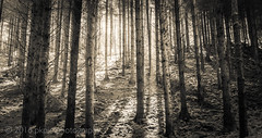 Exmoor Pines (PKpics1) Tags: trees hopcott westsomerset woods leaves rays sunrays landscape outdoor forest monochrome serene texture